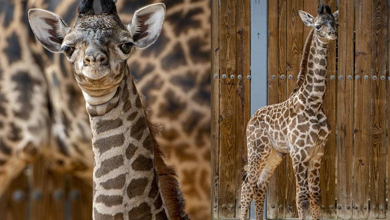 WDW giraffe animal kingdom 2 062221