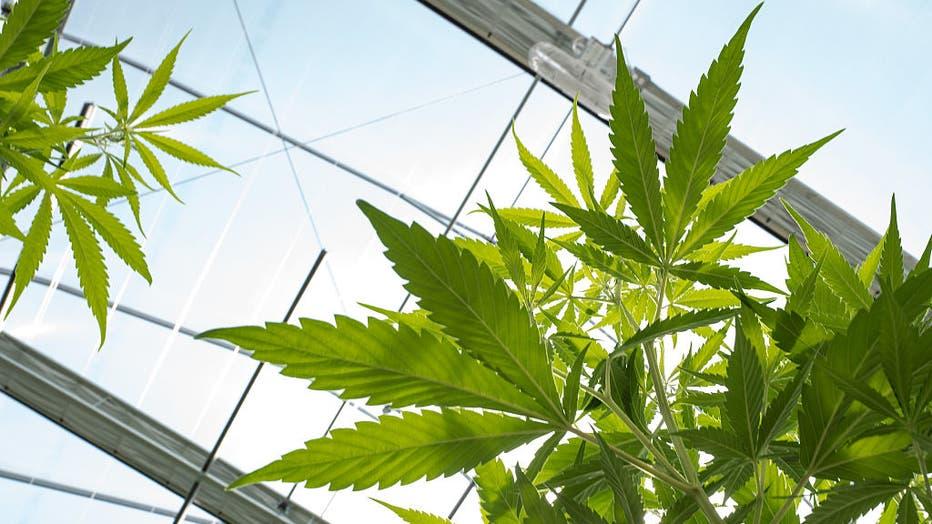 Marijuana Grow Near Albany For State's Legal Medical Marijuana Dispensaries