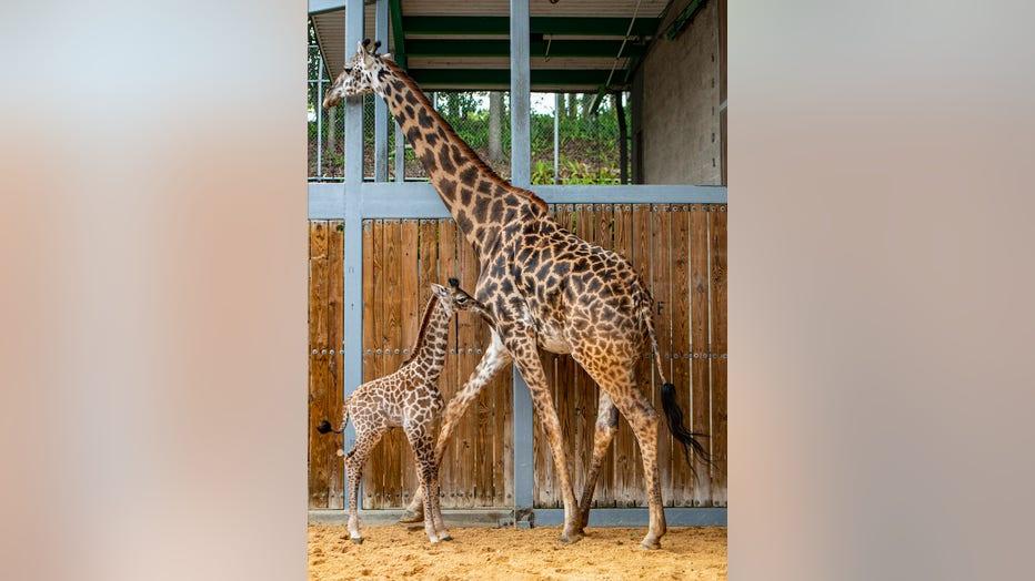 WDW-disney-animal-kingdom-giraffe-1-062221.jpeg