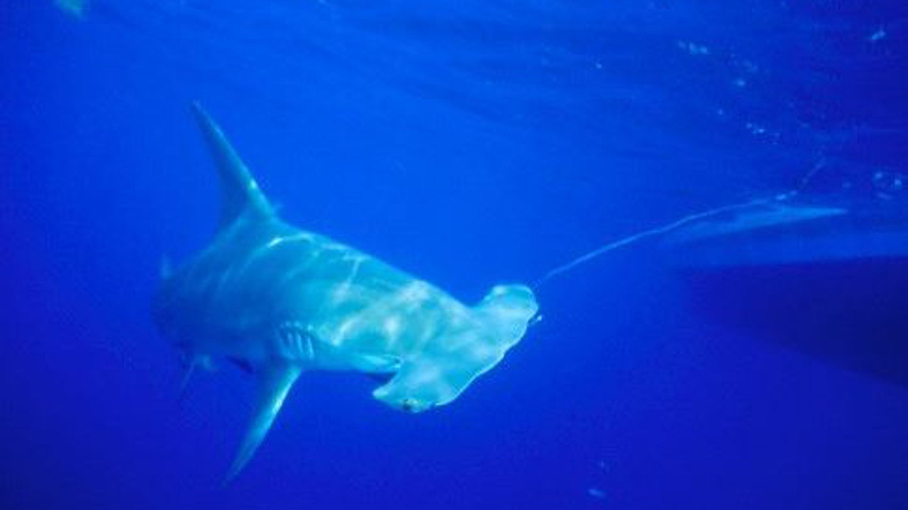 South Florida bay is baby shark nursery for hammerheads