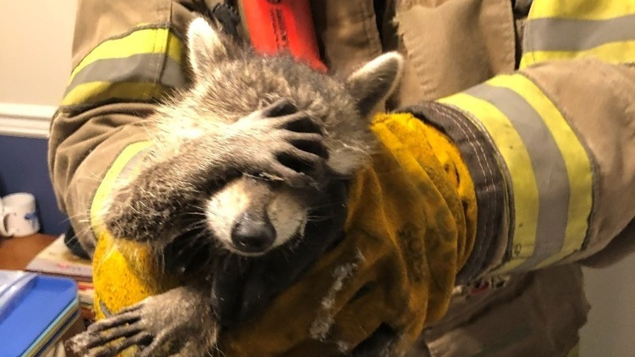Photo of 'embarrassed' raccoon rescued by firefighters goes viral