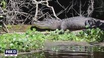 Get a waterside view of Florida's alligators