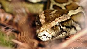 Florida Python Challenge kicks off again, with $10,000 on the line
