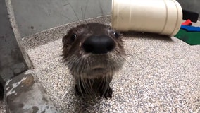 Orphaned river otter pup finds new home at Oregon Zoo