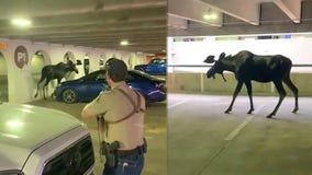 Moose 'reluctant' to leave Colorado parking garage relocated by wildlife officials