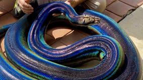 Rainbow python goes viral on social media: 'Stunning'