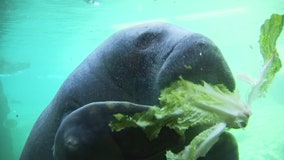 ZooTampa: Manatees are starving in Florida, but you shouldn't feed them in the wild