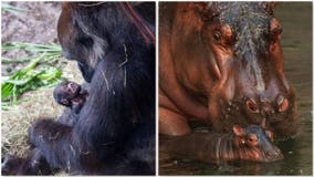 Disney's Animal Kingdom welcomes baby hippo and gorilla born a day apart