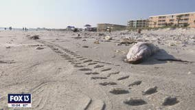 High concentrations of red is not turning away beachgoers