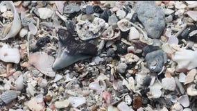 Venice is 'Shark Tooth Capital of the World'