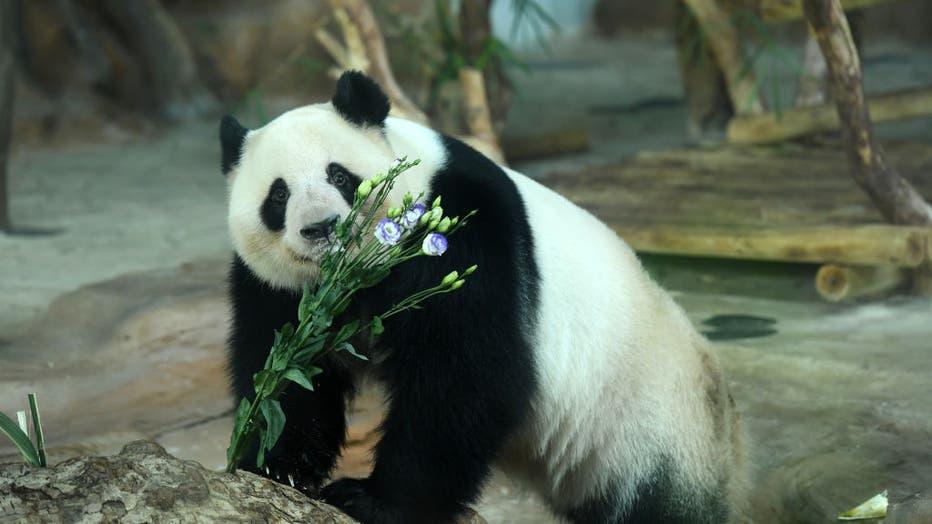 Giant Pandas Celebrate 5th Birthday In Nanning