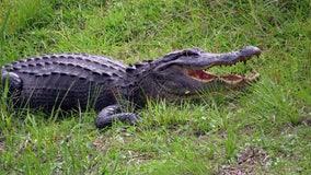 Alligator sneaks up on unaware fisherman in viral video