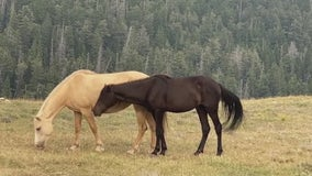 Take a trip to the top of Pryor Mountain, home to descendants of 'Cloud the Stallion'