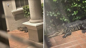 Tampa boy had nightmare in middle of the night, but wasn't scared when real gator arrived at home