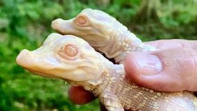 Wild Florida welcomes 2 baby albino gators to the world
