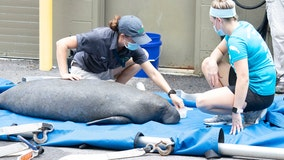 Rescued manatee being treated for red tide at ZooTampa