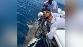 Anglers reel in 13-foot, 900-pound pregnant tiger shark less than 30 miles off Sarasota coast