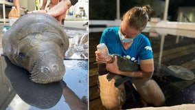 Baby manatee is the smallest rescued orphan calf ZooTampa has ever treated