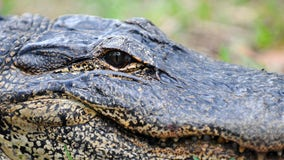 Human remains found inside alligator suspected of killing man in Ida floodwaters