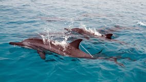 US bans swimming with Hawaii's protected spinner dolphins