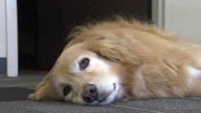 Therapy dog helps students at Southeastern University cope with stress