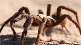 Maine landlord finds 19 tarantulas, 1 python left behind by tenant