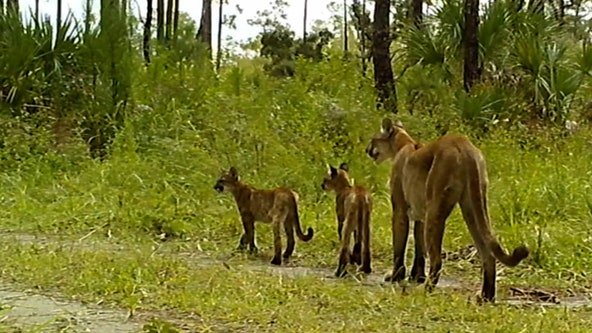 Two 'healthy' panther kittens spotted in Florida wildlife refuge show no visible signs of mystery illness: FWS