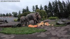 'Squishing of the squash': Elephants smash giant pumpkins in annual Oregon Zoo ritual