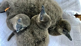 Busch Garden introduces three 'super fluffy' penguin chicks born at park