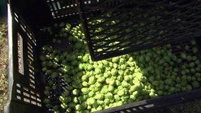Farmers, brewers toast successful Florida hop harvest
