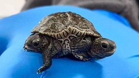 Two-headed turtle hatches in Massachusetts