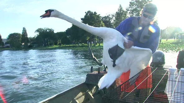 Lakeland's iconic swans rounded up for annual checkup
