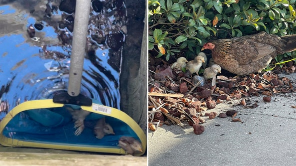Tampa firefighters reunite Ybor City hen with her baby chicks after storm drain rescue
