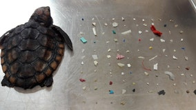 Sea turtle dies after eating over 100 pieces of plastic, South Florida nature center says