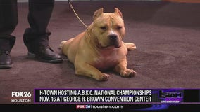 Houston hosts American Bully Kennel Club National Championships