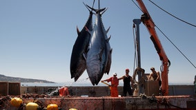 Tuna over-fished across the globe at unprecedented rates — scientists say it's unsustainable