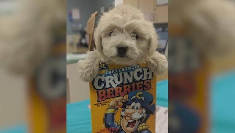32974f25-Puppy stuffed inside cereal box dropped at shelter_0_20190712023712-407068