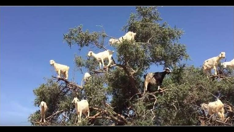 1c59c3a4-GOATS IN A TREE_1442270249722-401385.JPG