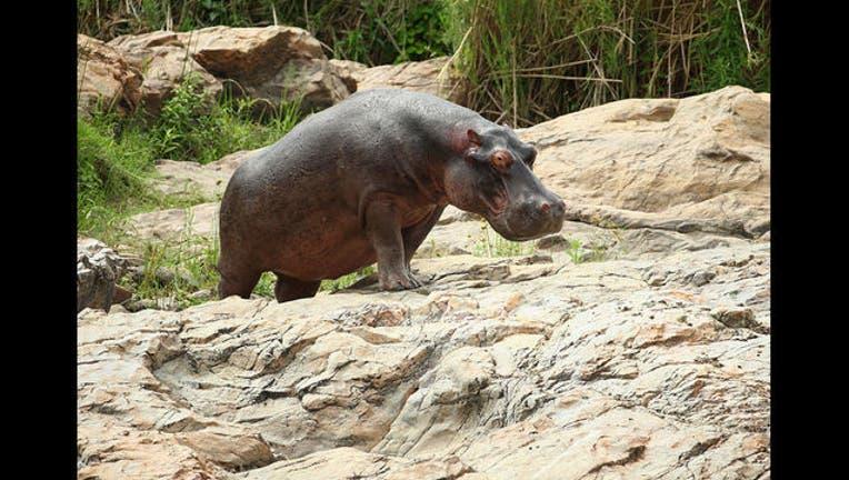 Hippo - GETTY-407068