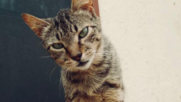 Houston Humane Society Neutering Cats For Free