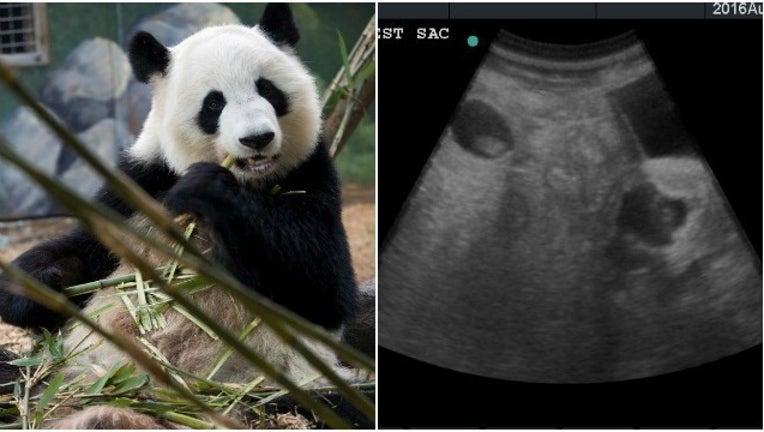4cdaabc4-Lun Lun giant panda pregant twins_1472046672092-404959.jpg