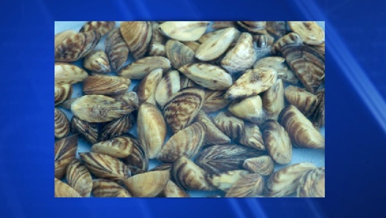 42fd8f3a-Zebra mussels_1558736865381.jpg.jpg
