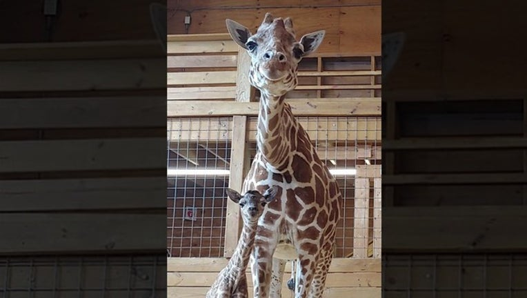 c336d2e9-april the giraffe_1553015936449.png-402429-402429.jpg