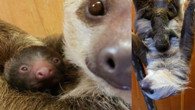 ca261e5d-baby sloth_1541608007418.jpg-404959.jpg
