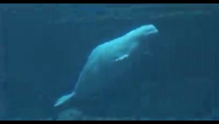 beluga whale_1443471662532-404959.jpg