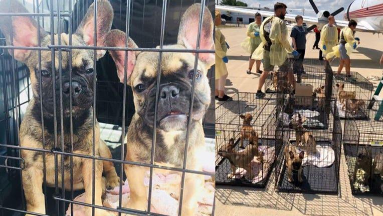 1e768680-bulldogs-rescued_1533834062369-402970.jpg
