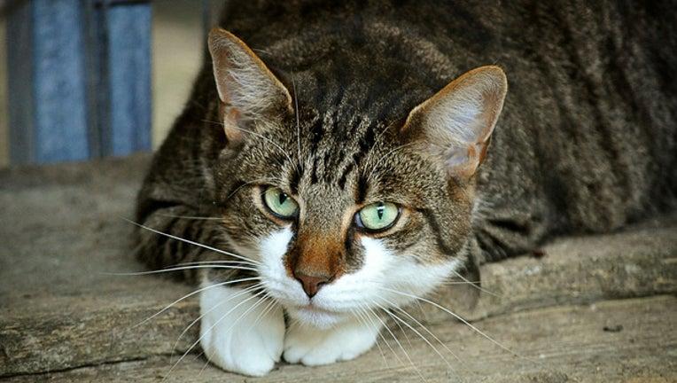 3da4c0cf-cat-pixabay_1534119375403.jpg