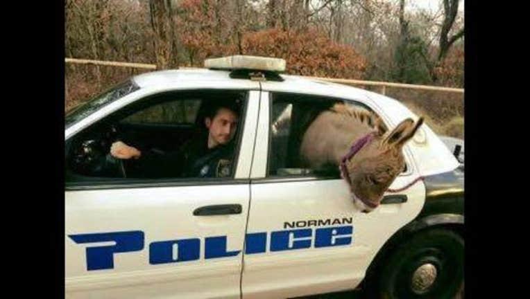 bef55e32-donkey in norman oklahoma patrol car_1448994881446.jpg