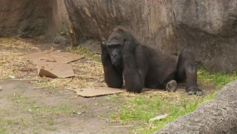 763316a1-gorilla5_1488997747006.jpg