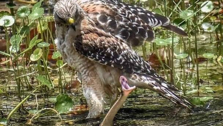 6492a44d-hawk snake shari thompson ancelet2_1562794941098.jpg-401385.jpg